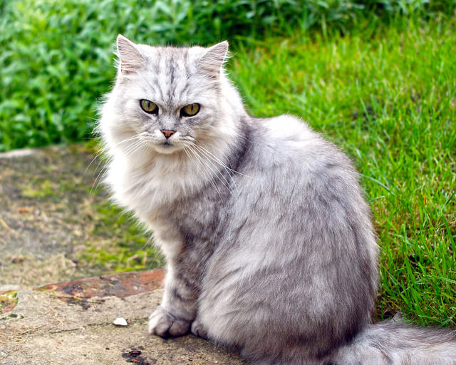 11 Longhaired Cat Breeds With Irresistible Fur - iHeartCats.com