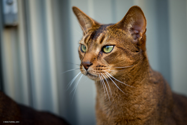 Abyssinian Cat Lion Breed