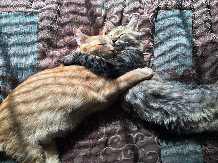 cats-kissing-in-love-louie-luna-5-1