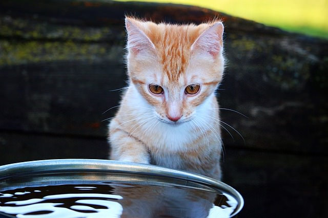 6 Reasons Cats Drink From The Faucet & Shower - iHeartCats.com