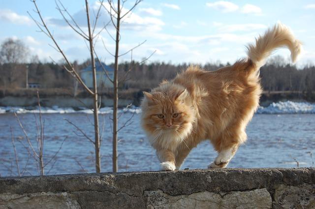 Cat Curve Tail Tip