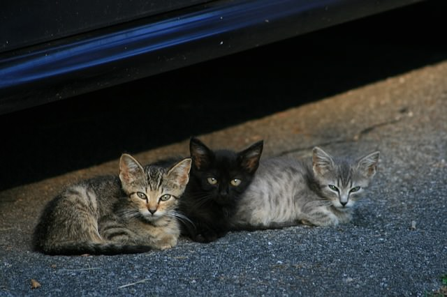 How Far Do Mother Cats Move Their Kittens