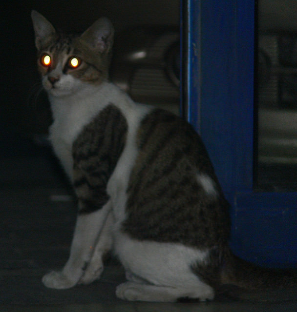 Why do cats have glowing eyes
