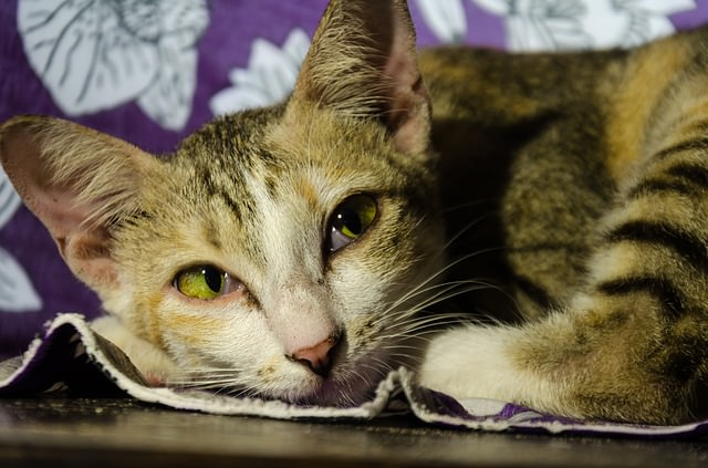 cat-2363956_640 - The 7 Most Common Diseases That Affect Senior Cats - Lifestyle, Culture and Arts