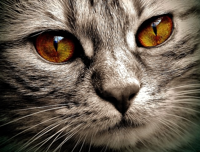 What Nose Color Does A Black Cat Have