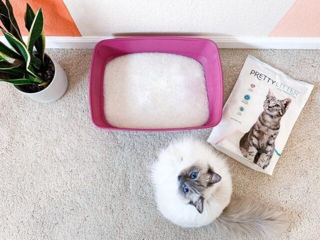 Ragdoll cat with PrettyLitter