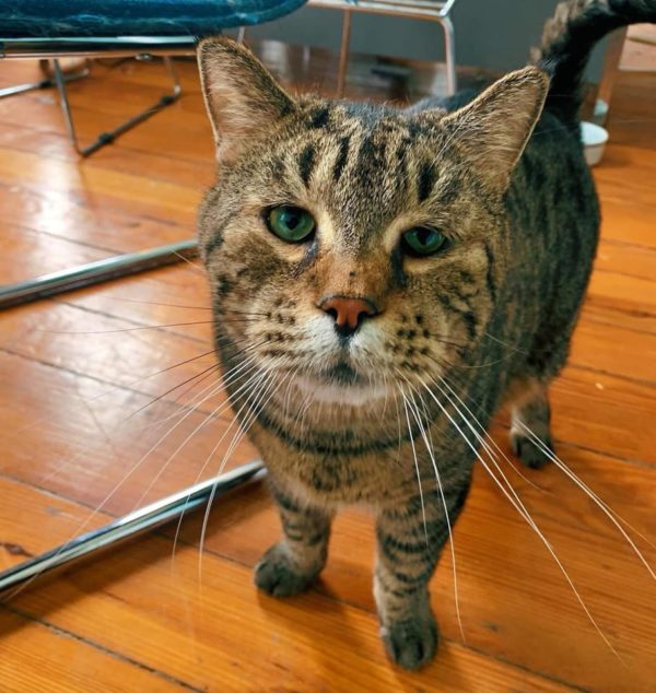 Enormous Tabby Crashes Shelter Website with His Cuteness