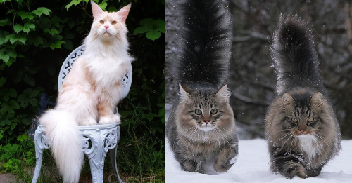 About Maine Coon Cats: Gentle Giants, Rulers Of Hearts