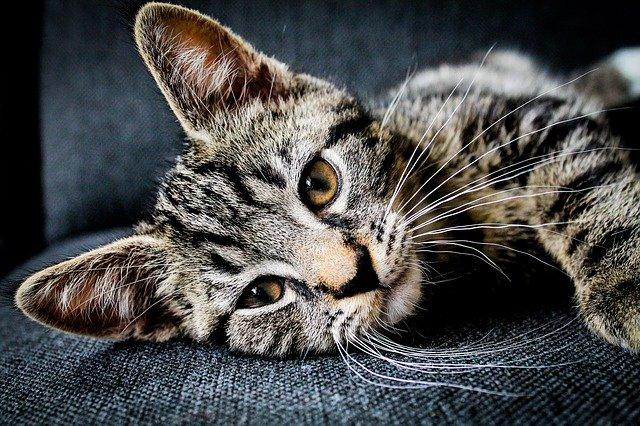 tabby kitten whiskers