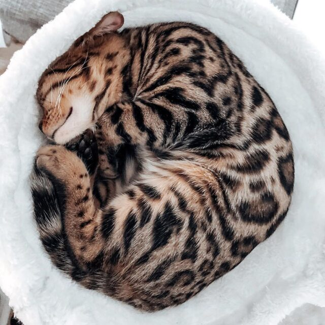 sleeping cat curled up