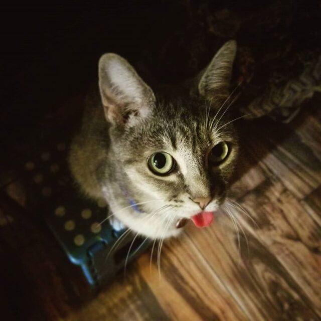 cat licks metal