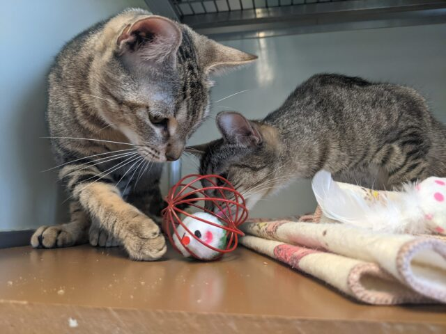 Cat siblings playing with iHeartCats toys