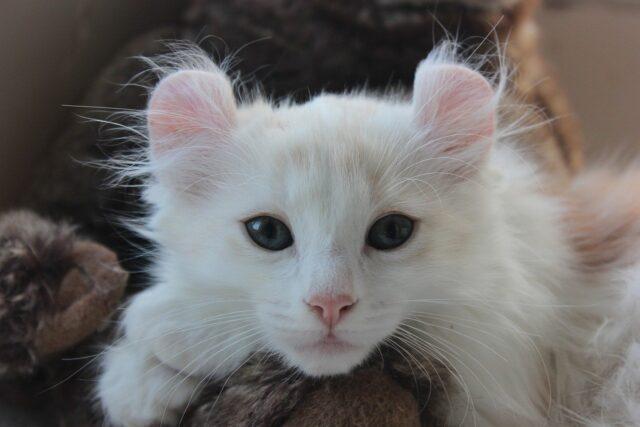 cat breed doglike personalities