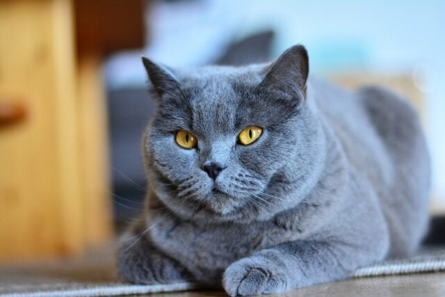 cat breeds that act like dogs